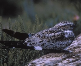 Common Nighthawk - O.S. Pettingill*